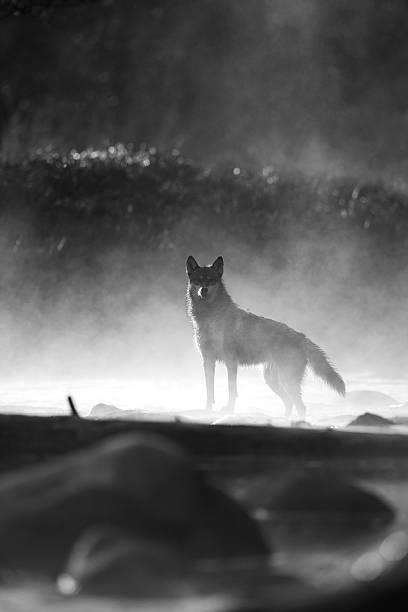 Niebla de la mañana y lobo gris. - foto de stock