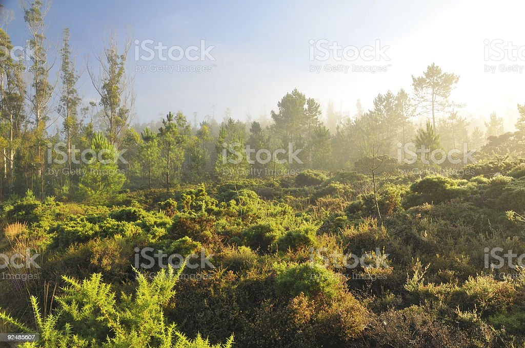 Morning mist in the forest royalty-free stock photo