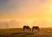 Two horse on misty field at sunrise.