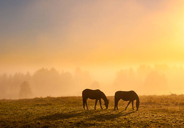 Morning mist Two horse on misty field at sunrise.  ranch stock pictures, royalty-free photos & images