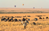 Zebras and Wildebeest grazing early in the morning on the Masai Mara, while hot air balloons are in the distance