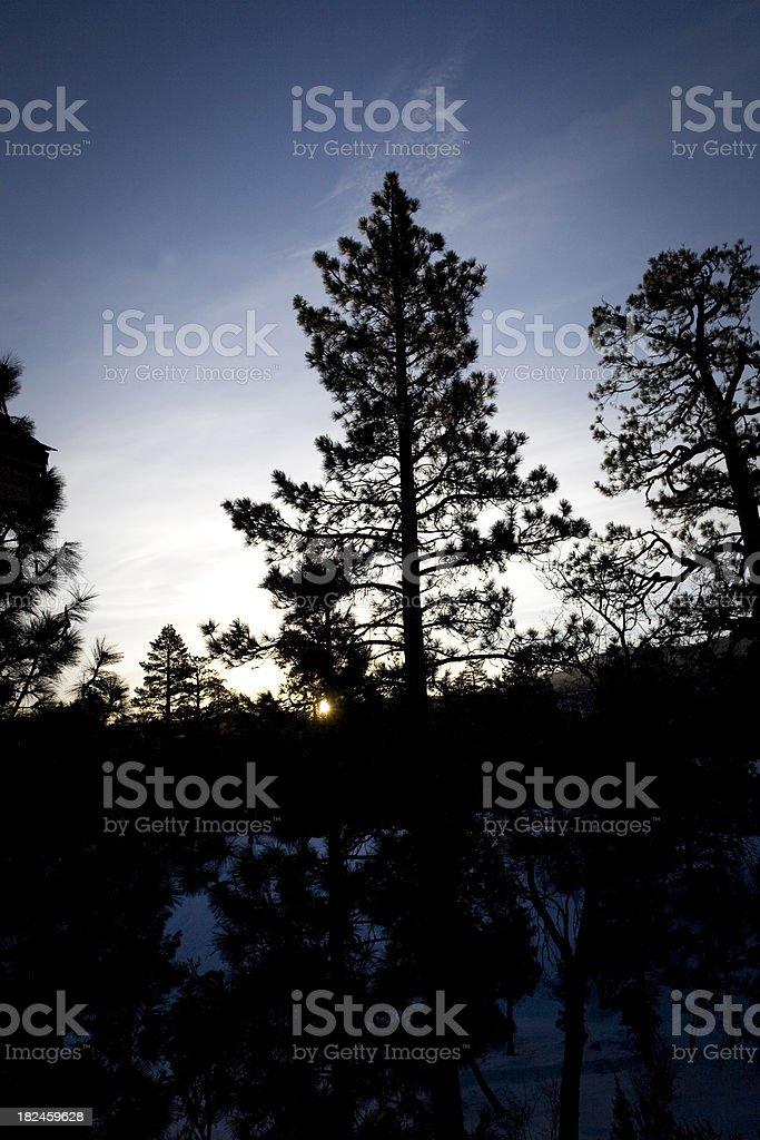 morning pine royalty-free stock photo