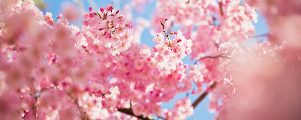 Morning Pink Cherry Blossom with Sunlight stock photo
