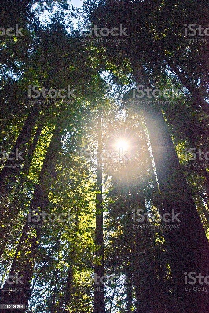 Morning Redwood Sun stock photo