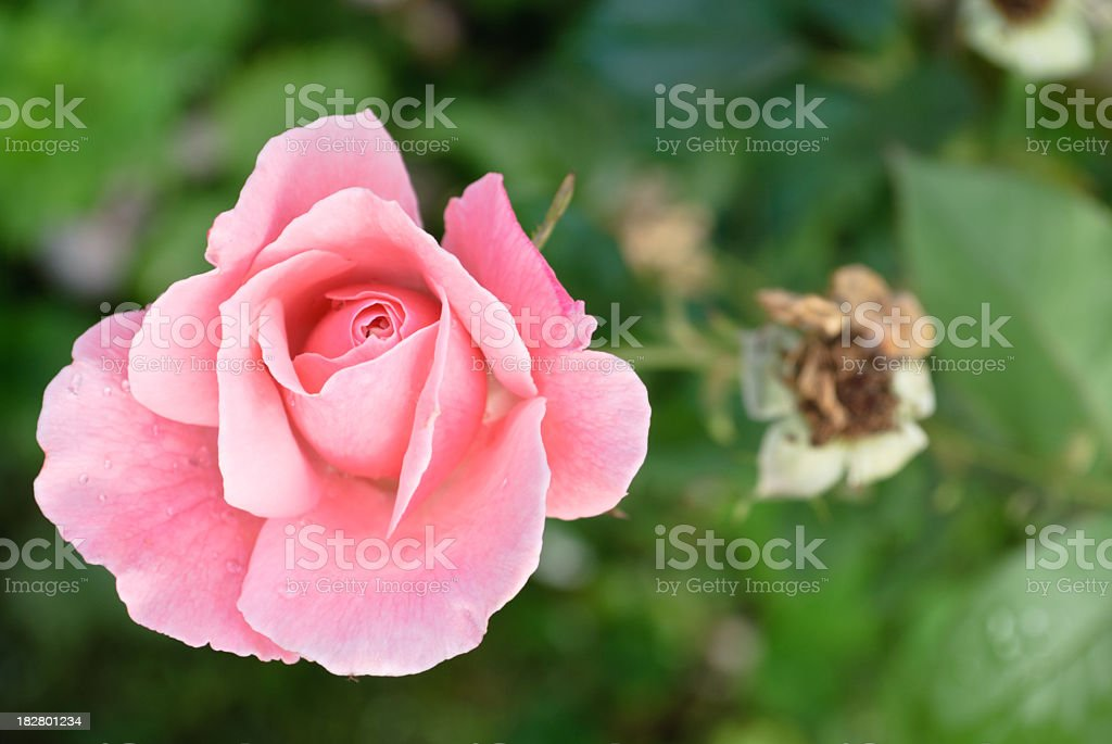 Morning rose royalty-free stock photo