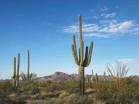 istock morning shot of cactus and puerto blanco mnts ajo, az 1159951141