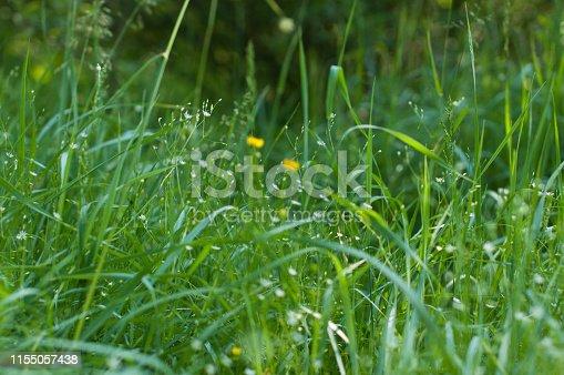 istock Morning summer flower on green grass 1155057438