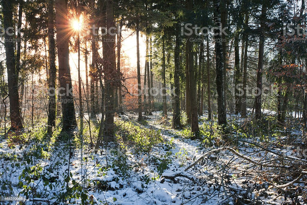 Morning Sun in snowy Forest stock photo
