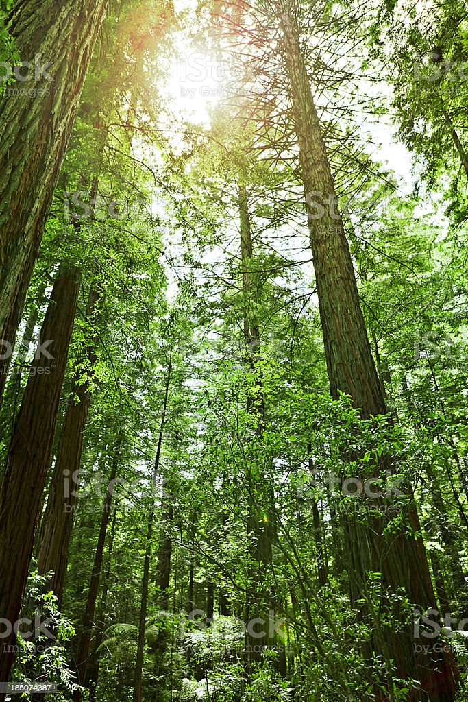 Morning Sun in the forest royalty-free stock photo