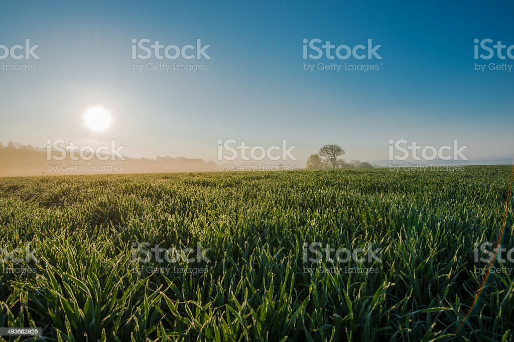 Morning Sun Over Young Wheat stock photo