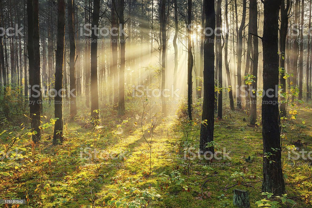 Morning Sun Rays Penetrating Forest - XXXL HDR image royalty-free stock photo