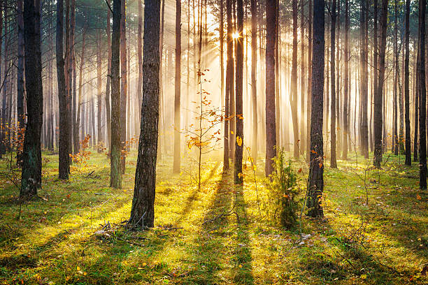 Morning Sun Rays Penetrating Forest - XXXL HDR image stock photo
