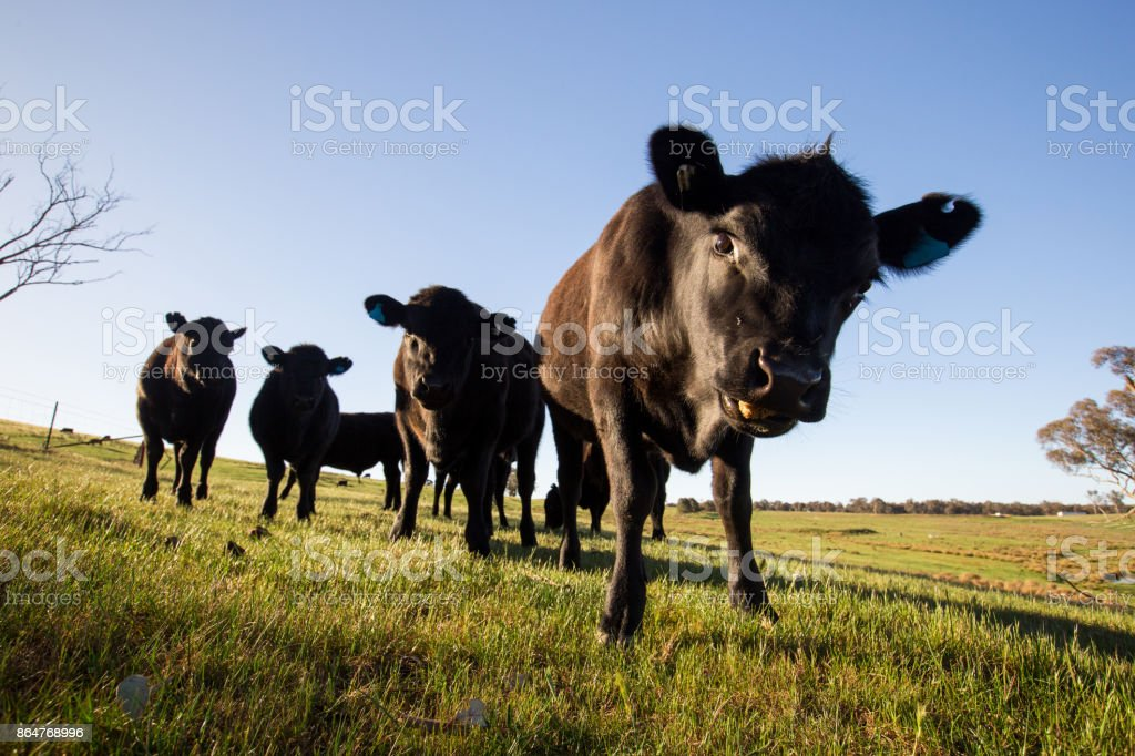 Morning sun shines on a herd of grazing cows stock photo