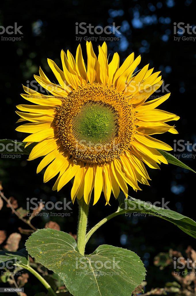 Morning Sunflower stock photo