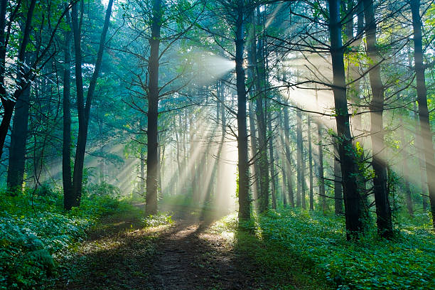 Morning Sunlight Filtering Through Foggy Forest in the Summertime stock photo