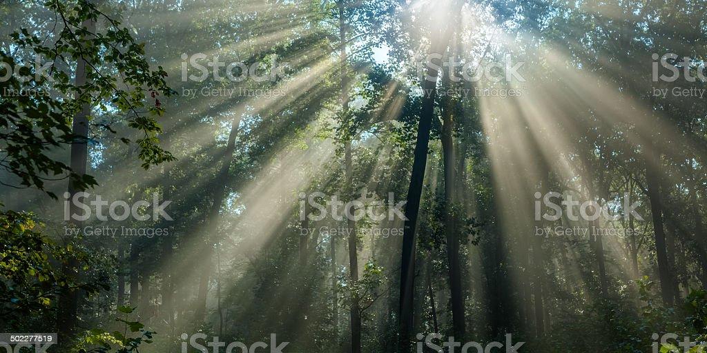 Morning Sunlight Filtering Through Tall Trees stock photo
