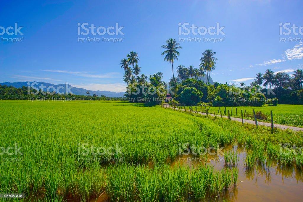 Morgensonne in eine grüne Reisfeld. – Foto