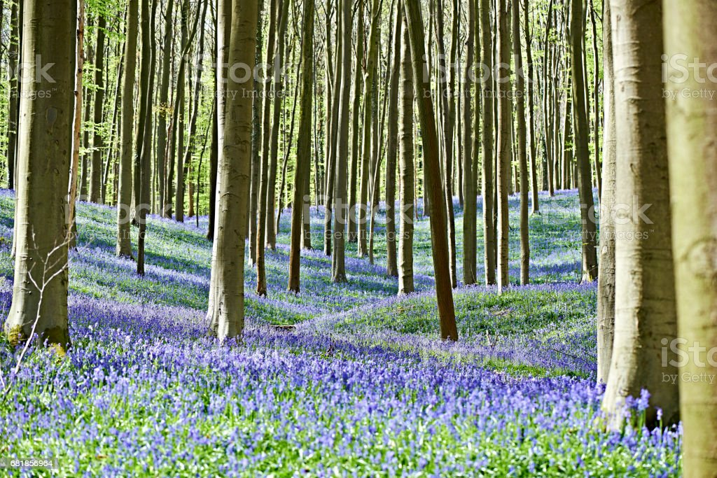Morning sunlight in forest with bluebell flowers stock photo