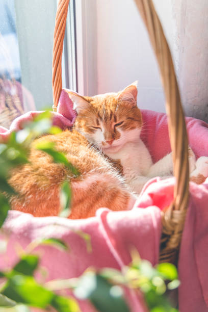 Morning sunlight on the sleeping red cat. Cute funny red-white cat on the windowsill in basket with pink blanket stock photo