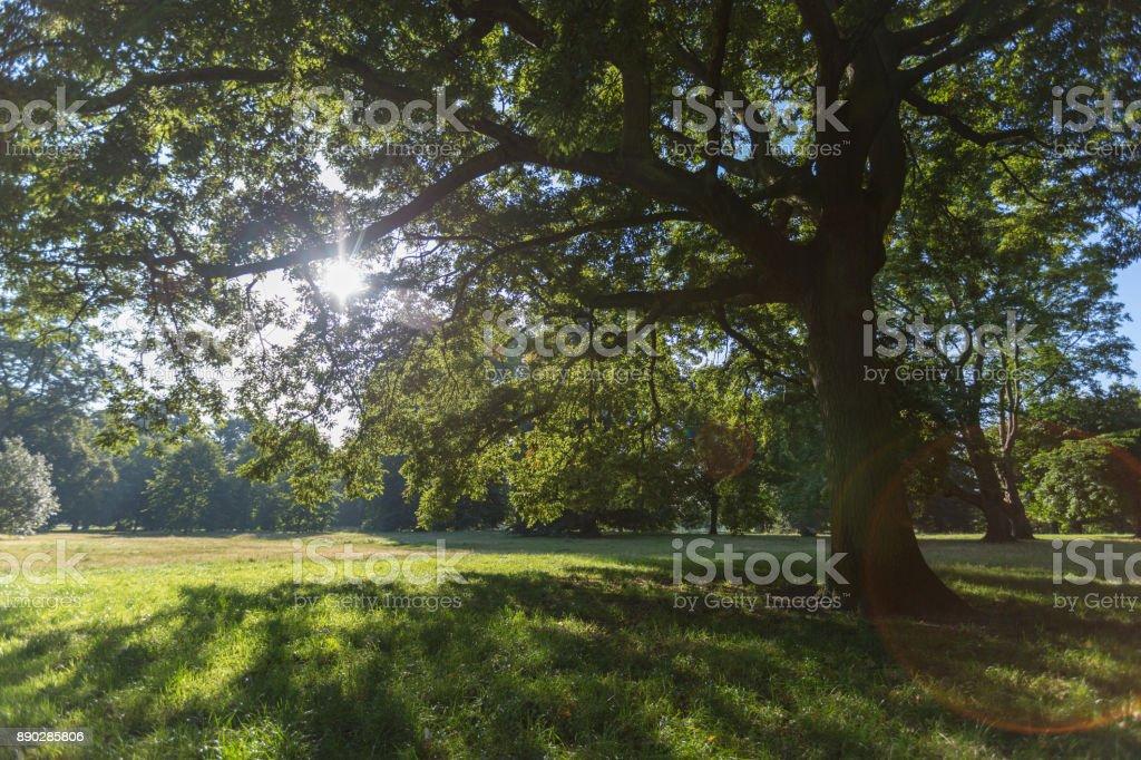 Morning sunlight shining throug the big tree leafs stock photo