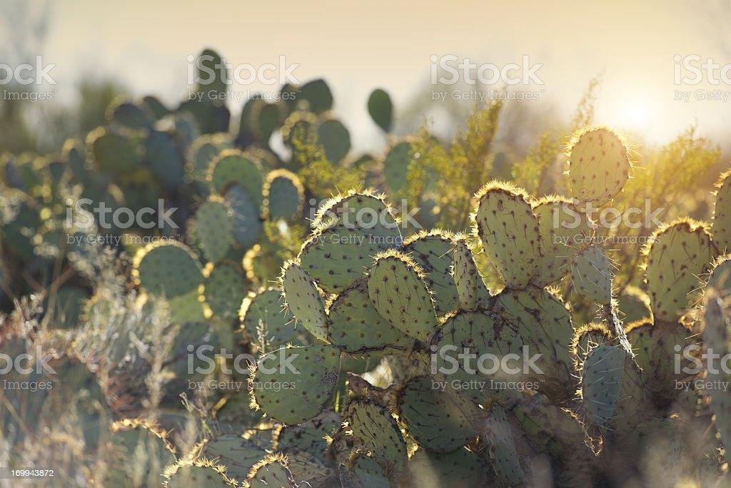 Morning sunrise over desert cactus royalty-free stock photo