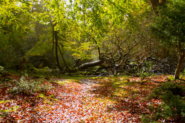 Morning sunshine and fallen trees in the New Forest stock photo