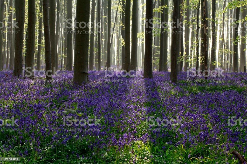 morning sunshine in flowering spring forest, Hallerbos stock photo