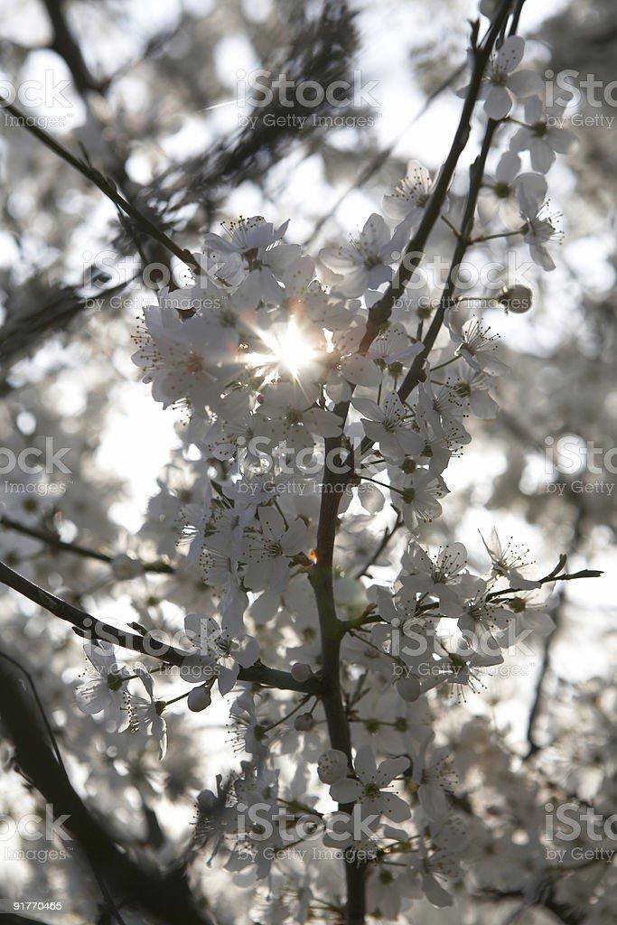 Morning Sunshine through Blossom royalty-free stock photo