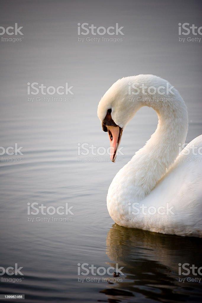 Morning Swan stock photo