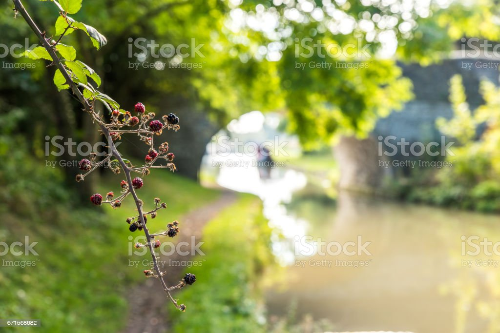 Morning view berries closeup over canal bridge England United Kingdom stock photo