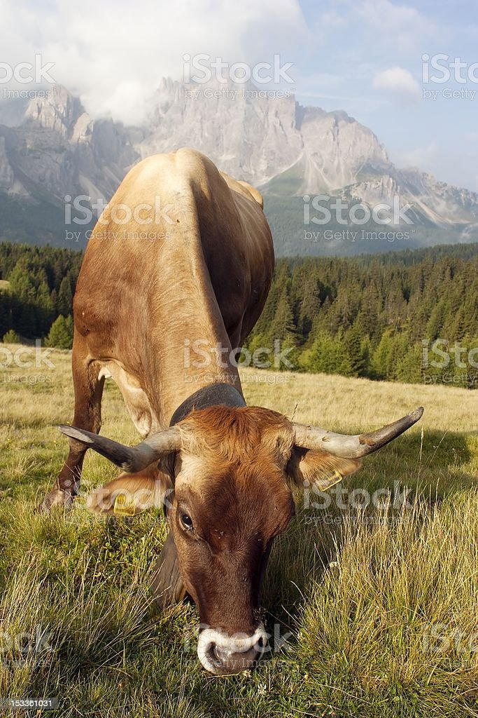 Morning view from Sexten Dolomites with cow on pasture royalty-free stock photo