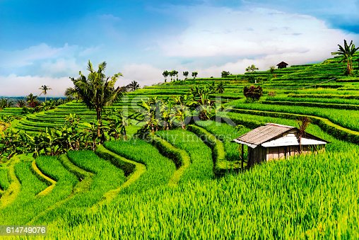 Morning View of Rice Terrace During the Sunrise. Bali, Indonesia.