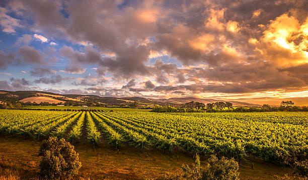 Morning Vineyards stock photo