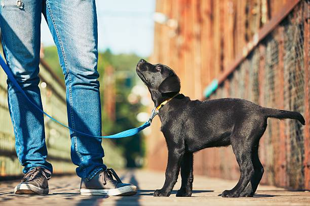 morning walk with dog - take care of your jeans imagens e fotografias de stock