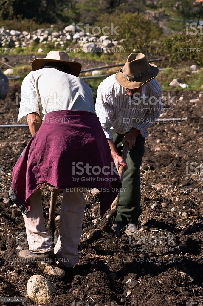 Morning workers preparing soil for potato planting. Venezuelan Andes. stock photo