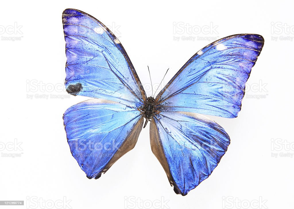 Morphidae:Blue Dazzling Morpho butterfly royalty-free stock photo