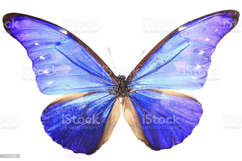 Morphidae:Morpho dazzling Blue Flash Butterfly royalty-free stock photo