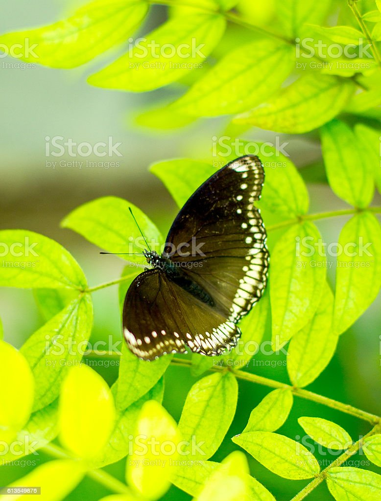 Morpho achilles, butterfly with bokeh blurred stock photo