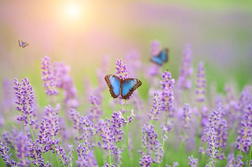 Field of Lavander flowers with Morpho butterflies