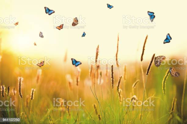 Morpho butterflies over plantago media picture id944102250?b=1&k=6&m=944102250&s=612x612&h=zudbrx0r2tweewtp64k91rw qqp31hn63uqw9kculte=