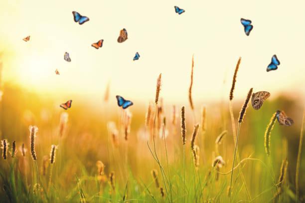 Morpho butterflies over plantago media picture id944102250?b=1&k=6&m=944102250&s=612x612&w=0&h=lmsk81c ja8wjh6nvx0jk dvyp6gmlpe1mnw8k4qjlc=