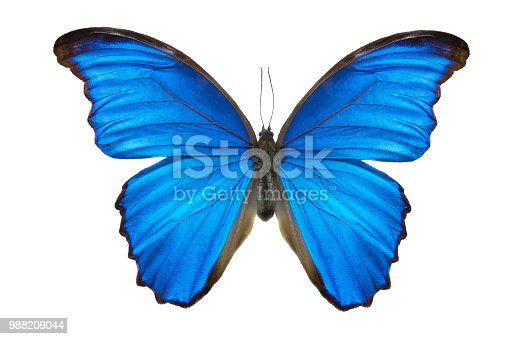 Morpho butterfly (Morpho didius). a blue butterfly from South America on white background.