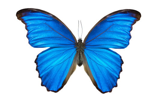 Morpho butterfly (Morpho didius). a blue butterfly from South America