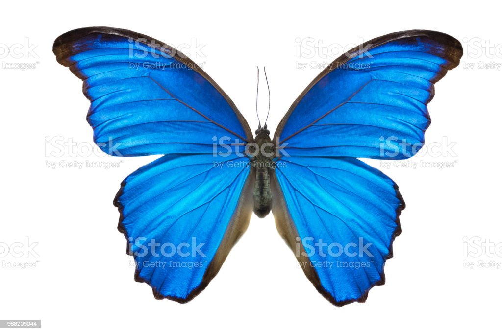 Morpho butterfly (Morpho didius). a blue butterfly from South America stock photo