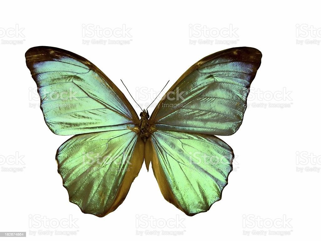 Morpho butterfly - isolated on white stock photo