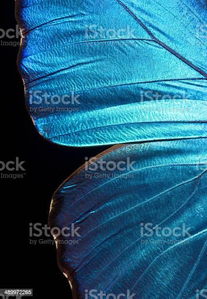 Morpho didius butterfly wing picture id489972265?b=1&k=6&m=489972265&s=612x612&h=oxzuzjdaulqjmzvlaam1c38bob bus kwddqu7x8gps=