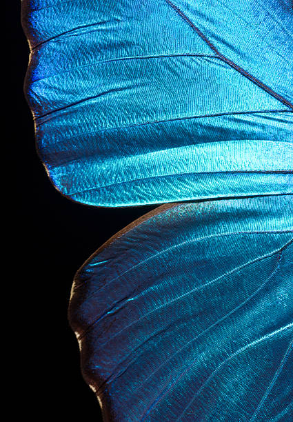 morpho didius butterfly wing - animal wing stock photos and pictures