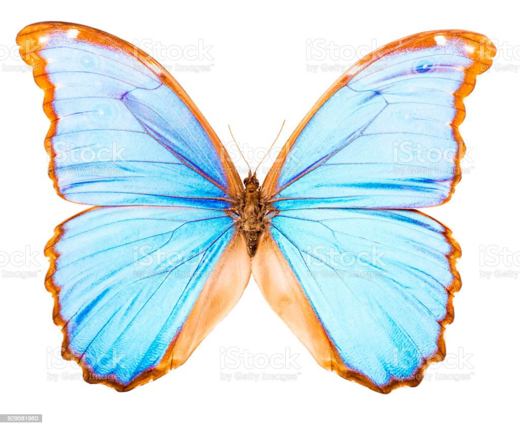 Morpho Didius Tropical Butterfly Isolated Stock Photo Download Image Now Istock
