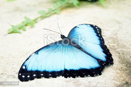 Morpho peleides butterfly on a rock with open wings. No people