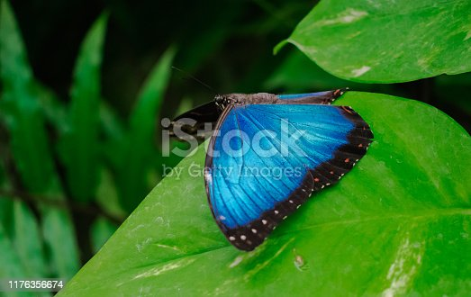 Morpho Peleides butterfly, resting with open wings on a green leaf, with green jungle vegetation background